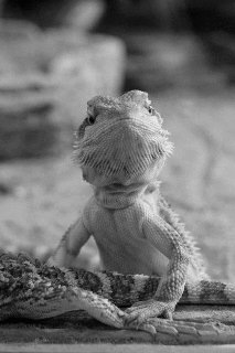 Story - Lizards